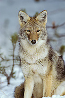 Portrait of a wild Coyote.  Western U.S., winter.