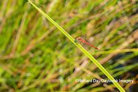 06666-00516 Autumn Meadowhawk (Sympetrum vicinum) male in wetland Marion Co. IL