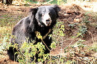 Cute Indian black-bear in jungle sitting and looking over innocently