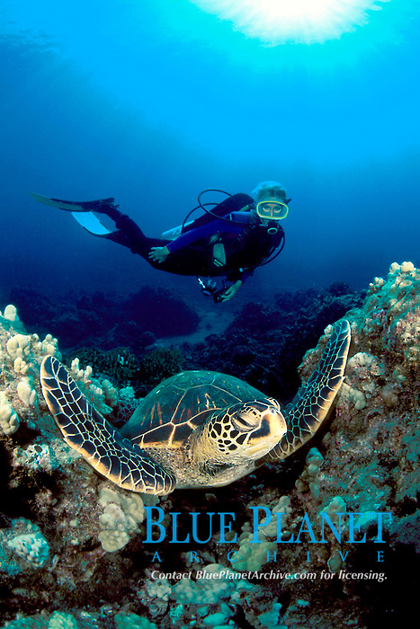 diver and green sea turtle, Chelonia mydas, Maui, Hawaii, USA, Pacific Ocean