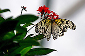 Paper Kite, also called Rice Paper, Paper White or Large Tree Nymph, with battered wings is perched on a bright red flower protruding from dark green leaves against a grayish background.
