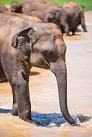 Photo of an elephant at Pinnawela Elephant Orphanage, Sri Lanka, Asia. This is a photo of an elephant at Pinnawela Elephant Orphanage, Sri Lanka, Asia.
