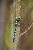 339570005 a wild male paddle-tailed darner aeshna palmata perches on a tree branch along the owens river near bishop inyo county california