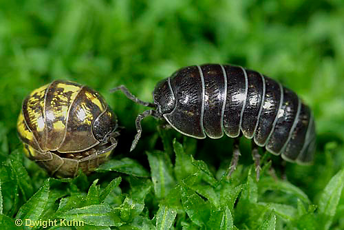 1Y33-017z  Pill Bug - one curled and one uncurled