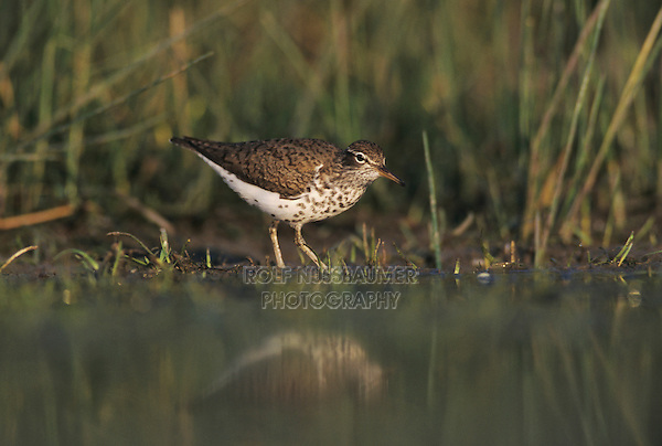 Spotted Sandpiper, Actitis macularia, adult breeding plumage, Lake Corpus Christi, Texas, USA, May 2003