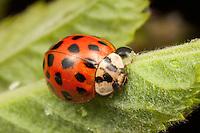 Multicolored Asian Lady Beetle (Harmonia axyridis), West Harrison, Westchester County, New York