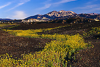 Desert Sunflowers, Death Valley National Park, California