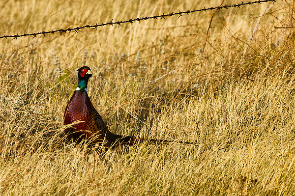 Pheasant's are extremely rare these days so I was thrilled to see this one in Montana. They are majestic birds.