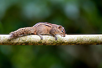 Indian palm squirrel or three-striped palm squirrel (Funambulus palmarum) is a species of rodents in the family Sciuridae found naturally in India (south of the Vindhyas) and Sri Lanka.