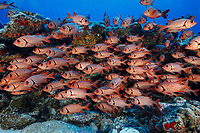 WA0722-D. Big-scale Soldierfish (Myripristis berndti), also called Blotcheye Soldierfish, size to 12 inches long, depth range 10 to 165 feet, habitat lagoons and seaward reefs, ranges from East Africa to Hawaii. French Polynesia, Pacific Ocean.<br /> Photo Copyright &copy; Brandon Cole. All rights reserved worldwide.  www.brandoncole.com