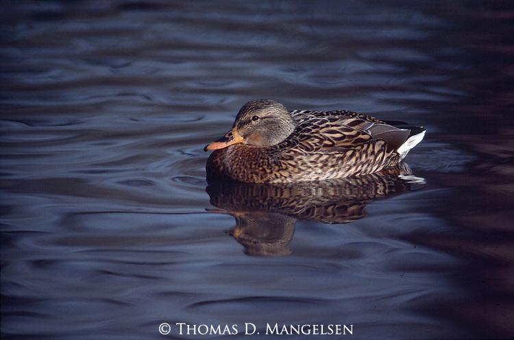 1652  Mallard Hen on pond
