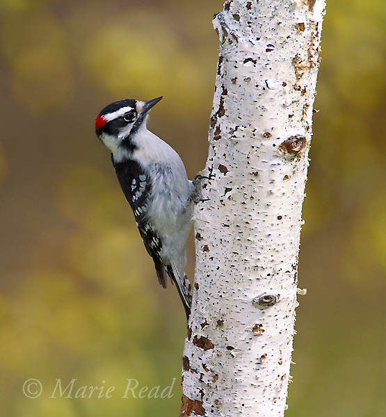 Downy Woodpecker (Picoides pubescens) male clinging on birch trunk in spring, New York, USA