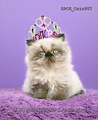 Xavier, ANIMALS, REALISTISCHE TIERE, ANIMALES REALISTICOS, cats, photos+++++,SPCHCATS807,#a#