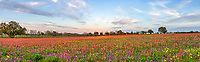 Texas Wildflowers Pano - Texas wildflowers in this field was super colorful on this day with yellows, reds, purple, on this hill side.  This was the most intense field we have seen so far this year. These colorful wildflower in texas were mostly east of San Antonio.  In any case texas has some spectalular colors this spring.