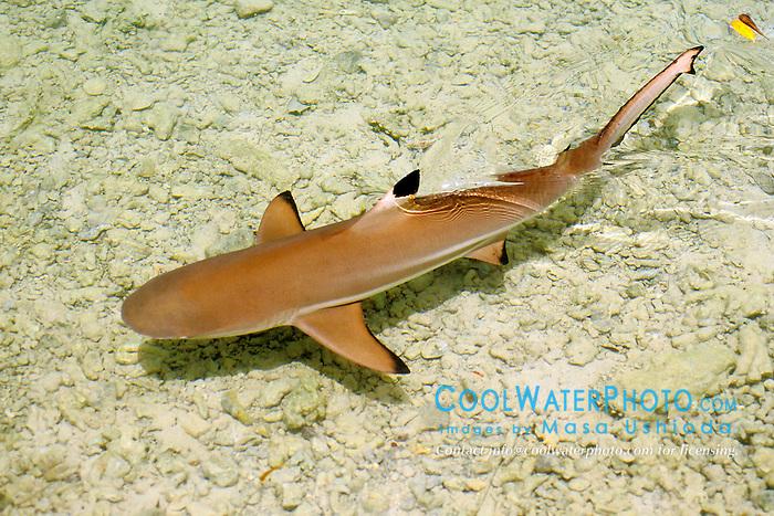blacktip reef shark, juvenile, Carcharhinus melanopterus, Oahu, Hawaii, Pacific Ocean