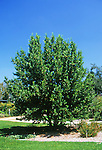 12416-CD California Bay Tree, Umbellularia californica, evergreen with aromatic foliage, at Arboretum of California State University, Fullerton, USA