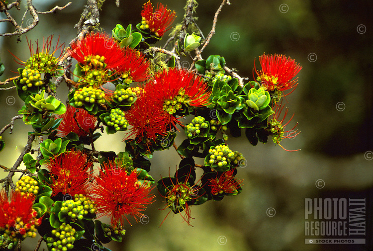 Ohia lehua, flower of the Ohia tree. The color of the flowers can vary from red to orange and yellow.  Metrosideros polymorpha