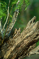 577970004 a wild eastern screech-owl otis asio perches in a cavity of a dead mesquite tree and its cryptic feather colors and pattern perfectly camouflages it from view in the rio grande valley of south texas