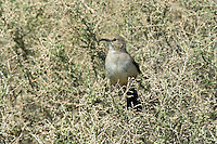 581970029 a wild lecontes thrasher toxostoma lecontei perches in a chapparal plant near maricopa in kern county california