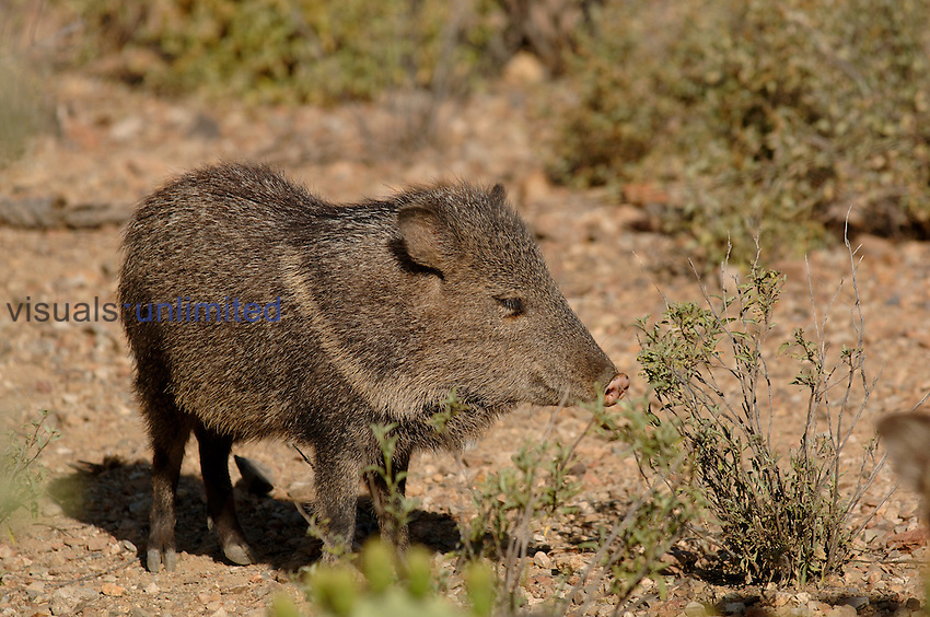 Javelina  or Collared Peccary (Peccary angulatus), Arizona, USA