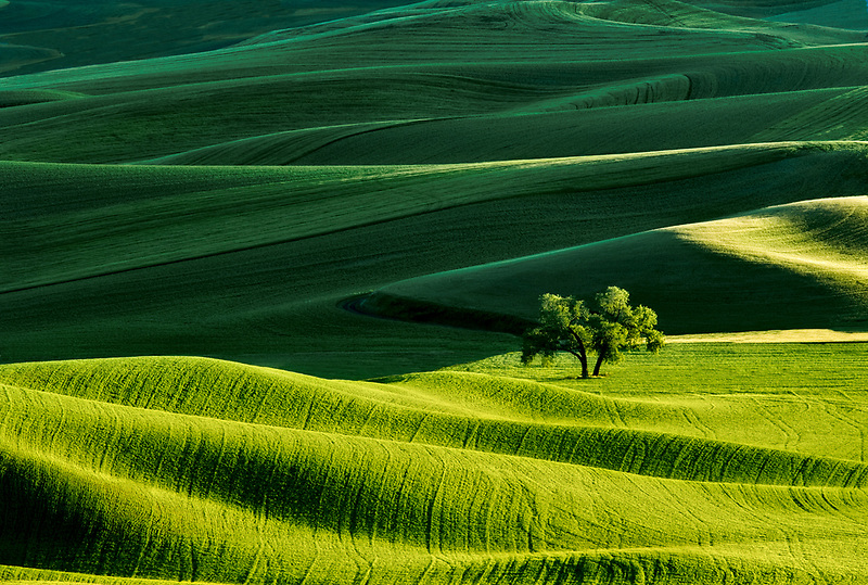 Farmland in spring with lone tree. The Palouse Washington