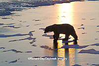 01874-13011 Polar Bear (Ursus maritimus) walking on frozen pond at sunrise Churchill Wildlife Management Area, Churchill, MB