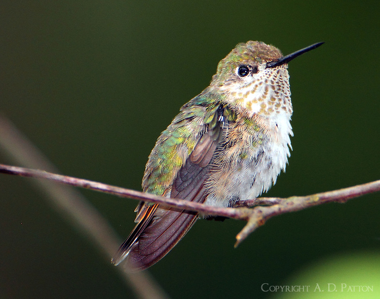 Adult female calliope hummingbird