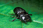 Antelope beetle, Dorcus parallelus, stag beetle