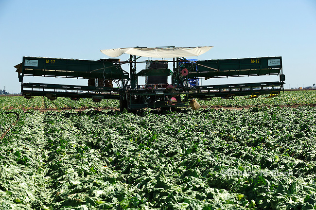 Lettuce harvesting equipment in the field