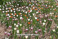 63821-21505 White, Orange, and Burgundy Tulips in spring at Lilacia Park, Lombard, IL