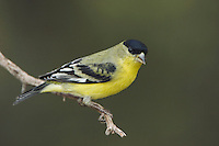 Lesser Goldfinch, Carduelis psaltria, male green-backed, Paradise, Chiricahua Mountains, Arizona, USA