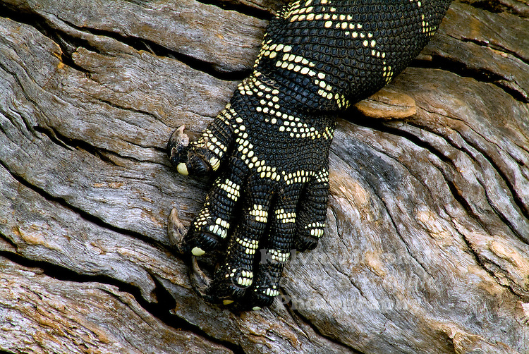 "A close up view of the detailed pattern of a Lace Monitor's foot. ""Looking at this image you can understand where the Aboriginal dot art painting possibly came from."""