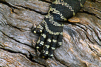 """A close up view of the detailed pattern of a Lace Monitor's foot. """"Looking at this image you can understand where the Aboriginal dot art painting possibly came from."""""""