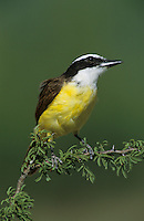 Great Kiskadee, Pitangus sulphuratus,adult, Lake Corpus Christi, Texas, USA