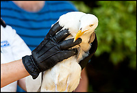 BNPS.co.uk (01202 558833)<br /> Pic:   RogerArbon/BNPS<br /> <br /> The lucky gull about to be released by RSPCA inspector Jo Story.<br /> <br /> A seagull that miraculously survived being shot with an arrow has today been released back into the wild after being saved by the RSPCA.<br /> <br /> The male gull was left skewered by the 28ins long arrow fired from a high-powered crossbow, possibly by an angry homeowner fed-up with the nuisance birds.<br /> <br /> The metal arrow went right through the gull's body and somehow missed its vital organs.<br /> <br /> And when vets X-rayed it they realised the bird had been doubly lucky as they found a pellet in its body from where it had been previously shot with an air rifle.