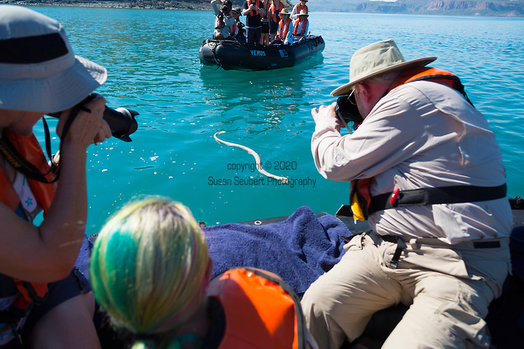 A venomous sea snake with a fish in its mouth swims towards a zodiac of tourists, Hunter River, The Kimberley, Australia