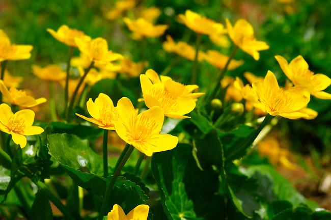 Alpine Marsh Marigolds ( Caltha Palustris ) . Faulhorn Mountain , Bernese Alps . Switzerland