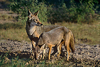 617500003 a pair of wild coyotes canis latrans pause by a small pond after drinking on a private ranch in the rio grande valley of south texas