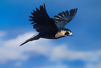 527950040 a captive falconers bird a peregrine falcon falco peregrinus in flight  in colorado