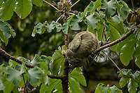Three-toed Sloth (Bradypus variegatus), Costa Rica, Central America