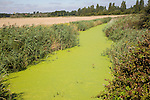 Description: Eutrophication in drainage ditch Hollesley, Suffolk, England