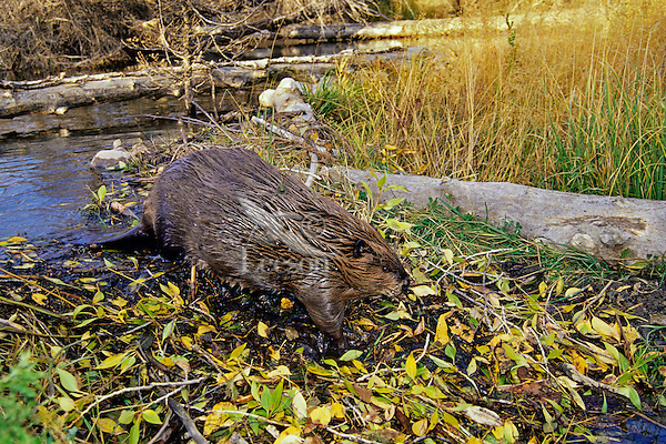 North American Beaver (Castor canadensis) walking down across face of dam.  Western U.S., fall.
