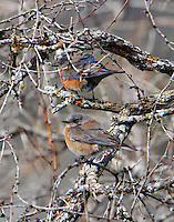 Female western bluebirds