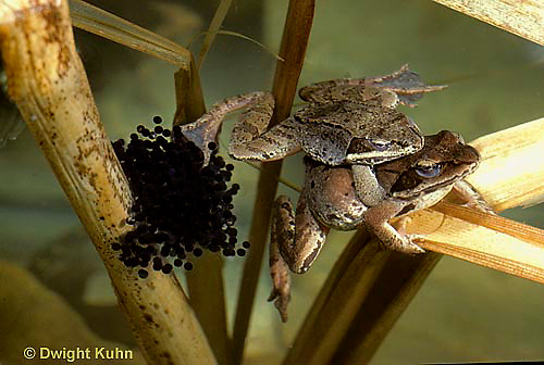 FR20-017z  Wood Frog - mating, female laying eggs -Lithobates sylvaticus, formerly Rana sylvatica