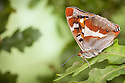 Purple Emperor butterfly {Apatura iris} male on English Oak {Quercus robur} leaf with wings closed, Captive, UK