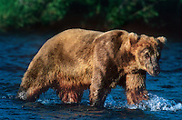 609682189 a wild adult brown or grizzly bear ursus arctos walks in a river looking for salmon in katmai national park alaska