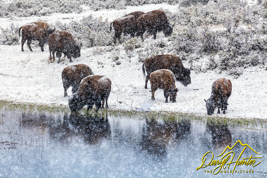 A thirsty herd of bison head for the waterhole for a drink during a raging snowstorm in Yellowstone National Park