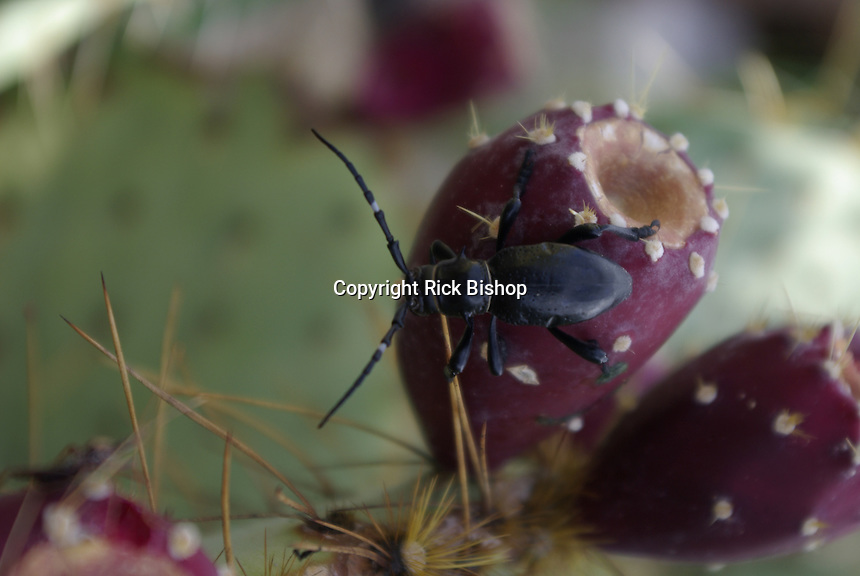 Ground Beetle seen on a Desert Prickly Pear Cactuc fruit, on a summer day in southern Arizona.