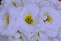 Flor Lisianto ( Eustoma gradiflorum). SP. Foto de Juca Martins.