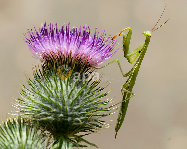 Aug. 2, 2012 - Roseburg, Oregon, U.S - A large mantis climbs on a thistle growing on a farm near Roseburg. The predatory insects are known as the 'praying' mantis in the United States due to the typical prayer-like stance. (Credit Image: © Robin Loznak/ZUMAPRESS.com)